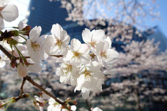 六本木 花見