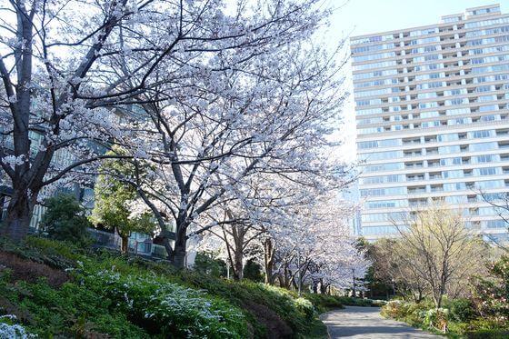 六本木 檜町公園 桜