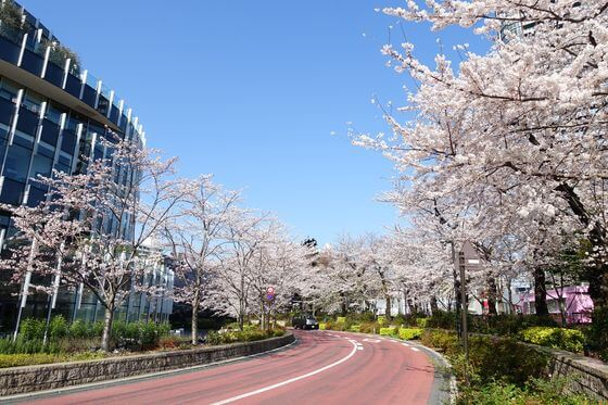 東京ミッドタウン 桜 見頃