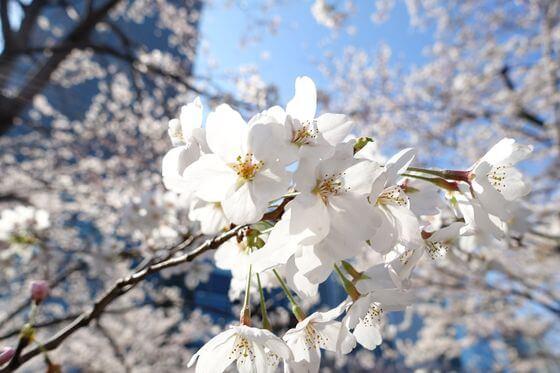 東京ミッドタウン 桜 開花状況