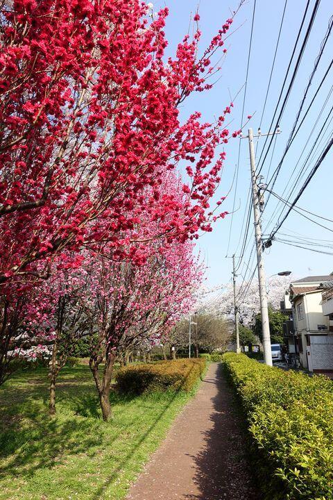 戸山公園 花桃