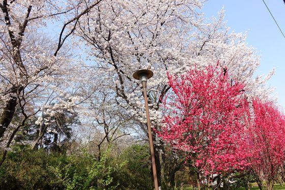 戸山公園 箱根山地区 花桃