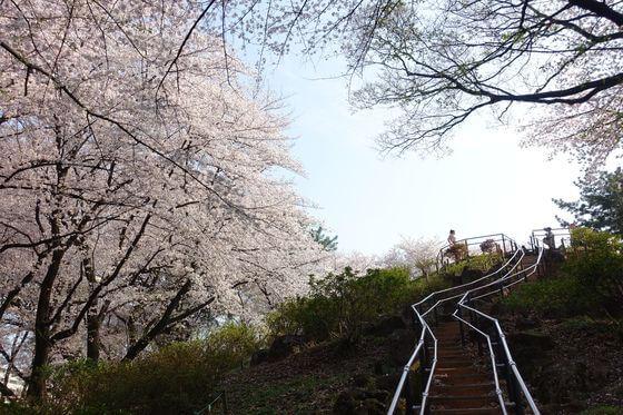 戸山公園 箱根山地区 桜