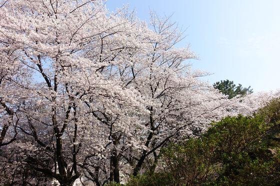 戸山公園 箱根山 桜 見頃