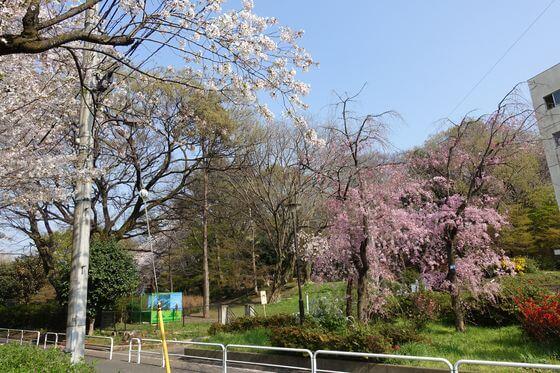 戸山公園 箱根山 しだれ桜