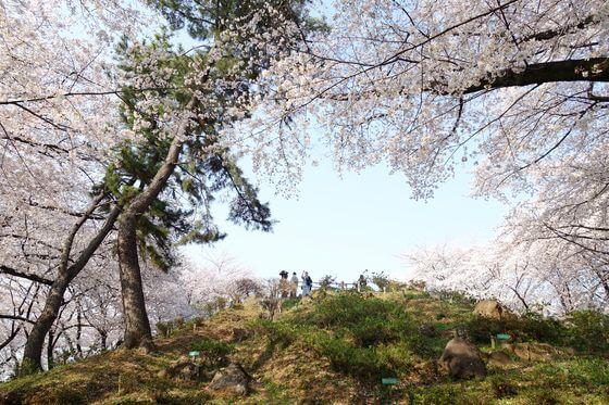 戸山公園 箱根山 桜
