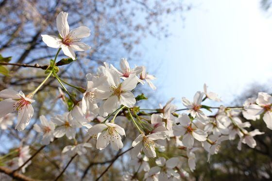 戸山公園 箱根山 桜 開花状況
