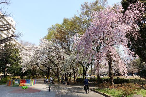 戸山公園 大久保地区 しだれ桜