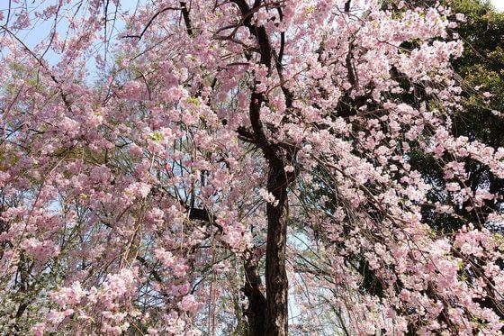 戸山公園 大久保地区 枝垂れ桜