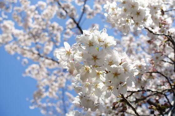 浮間公園 桜 開花状況