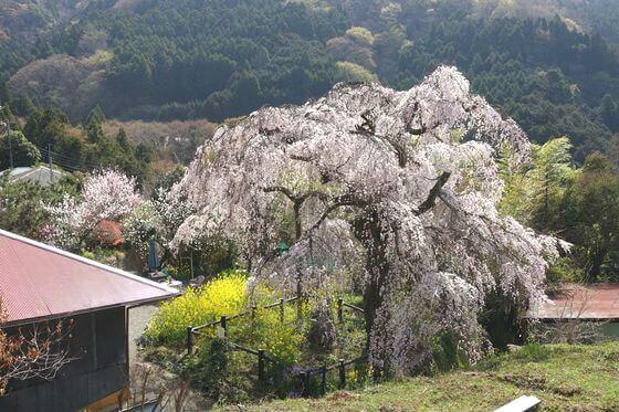 みやま淡彩桜