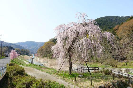 宇津茂のしだれ桜