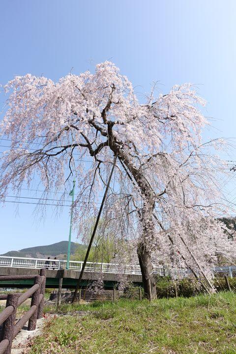 松田町 宇津茂のしだれ桜