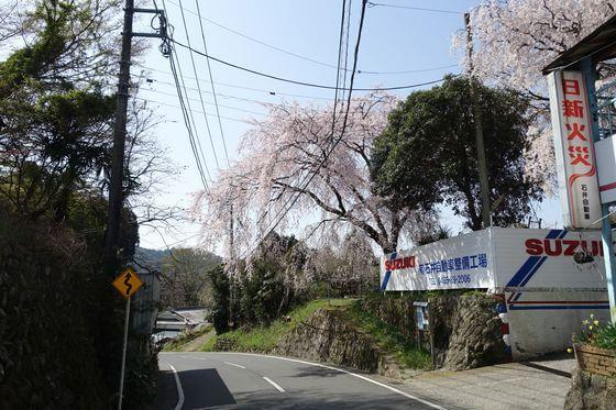 松田町 中山のしだれ桜