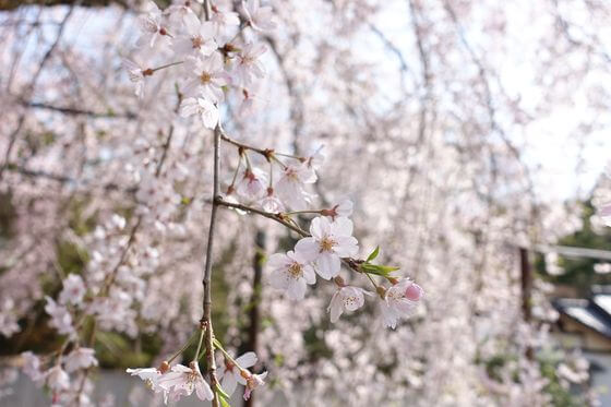 寄しだれ桜 開花状況