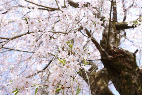寄しだれ桜 見頃