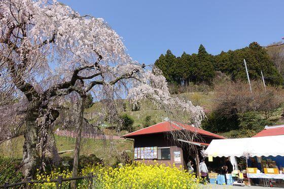 松田 しだれ桜