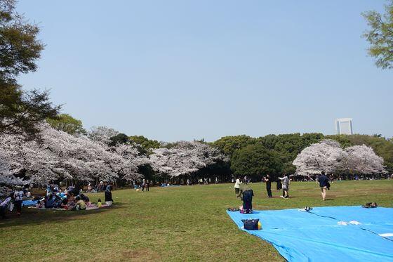 代々木公園 中央広場 桜