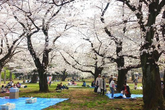 代々木公園 中央広場 花見