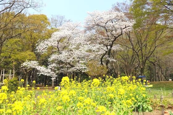 代々木公園 菜の花
