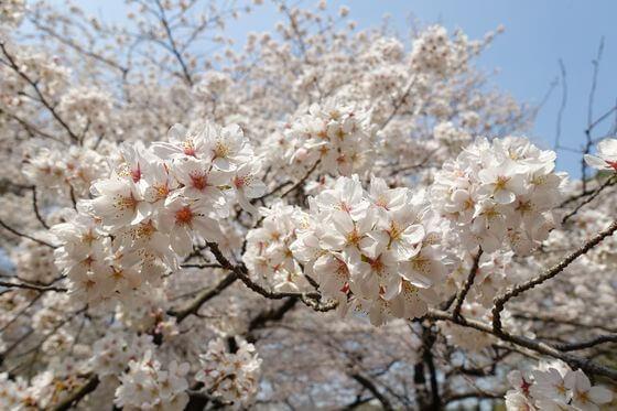 代々木公園 桜 開花状況