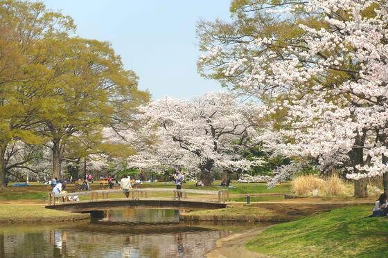 代々木公園 桜 見頃