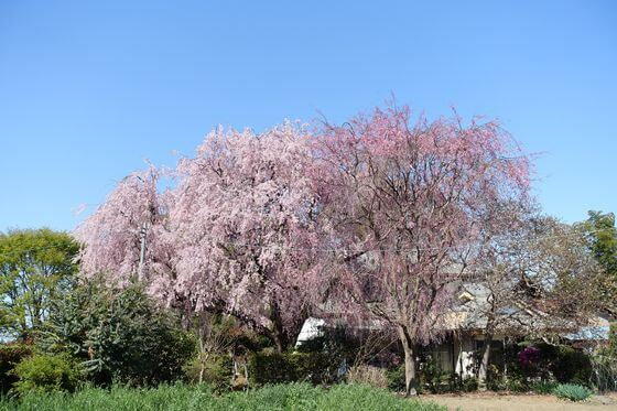 阿弥陀堂 北本 桜