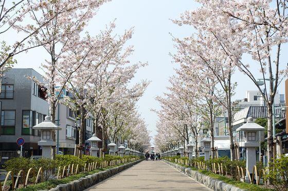 鎌倉 参道 桜