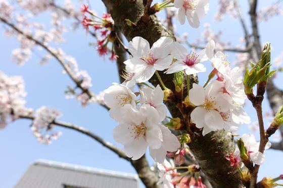 鎌倉 参道 桜並木