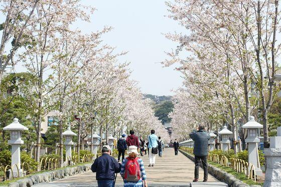 鶴岡八幡宮 参道 桜並木
