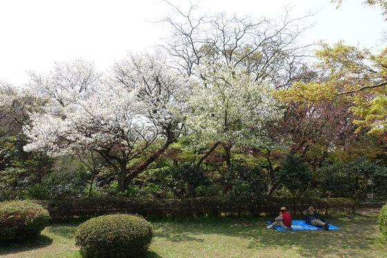 源氏山公園 ソメイヨシノ