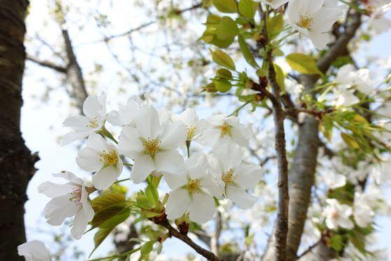 源氏山公園 桜 開花状況