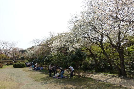 源氏山公園 花見