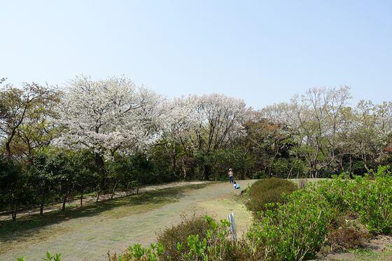 源氏山公園 お花見