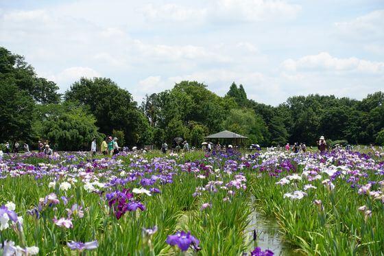 北山公園 花しょうぶ