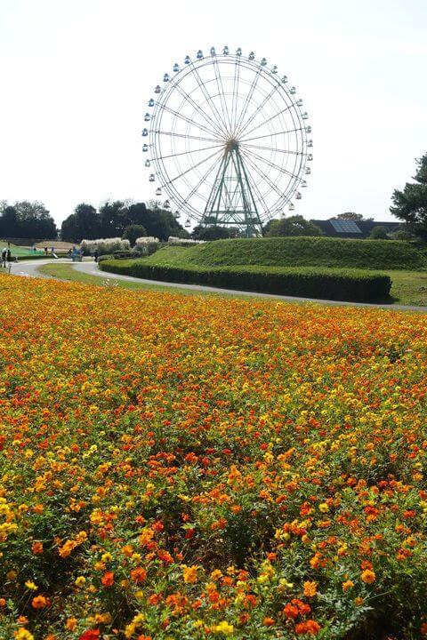 国営ひたち海浜公園 大草原西側花畑 キバナコスモス