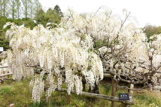 神代植物公園 藤 開花状況