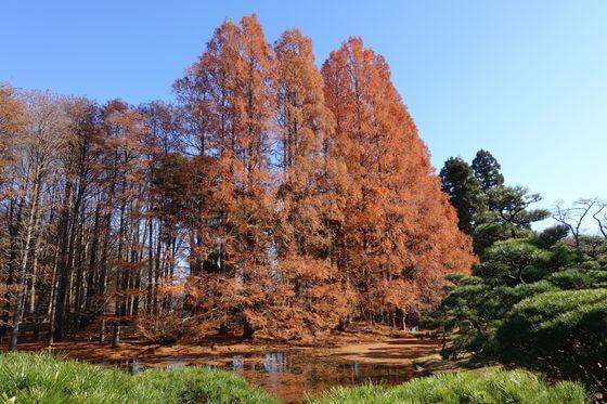 神代植物公園 メタセコイア