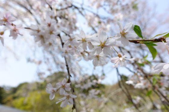 浄智寺 桜