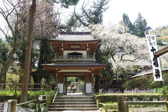 鎌倉 しだれ桜