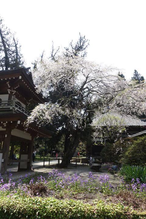 浄智寺 しだれ桜