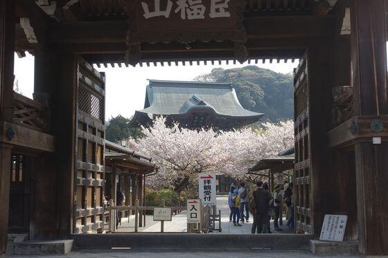 建長寺 桜並木