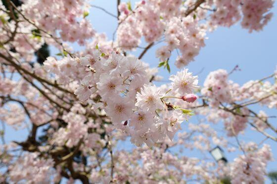 建長寺 枝垂れ桜