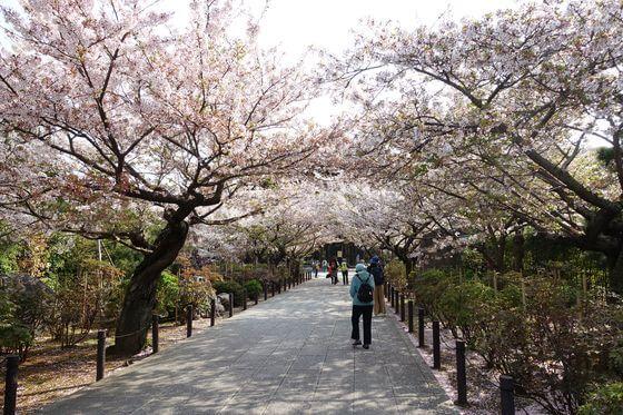 鎌倉 建長寺 桜