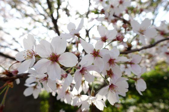 北鎌倉 桜