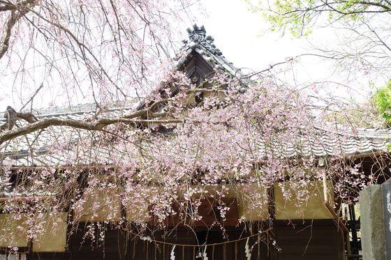 葛原岡神社 枝垂れ桜