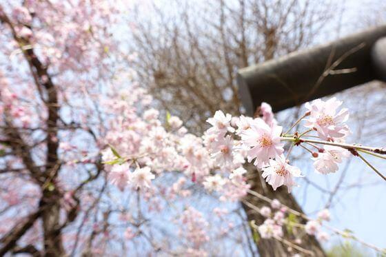 葛原岡神社 しだれ桜