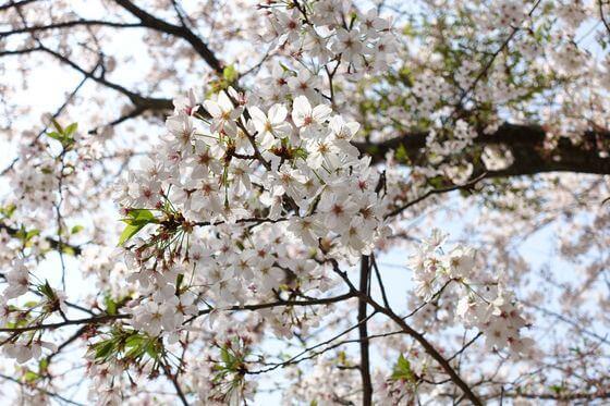 葛原岡神社 桜 開花状況