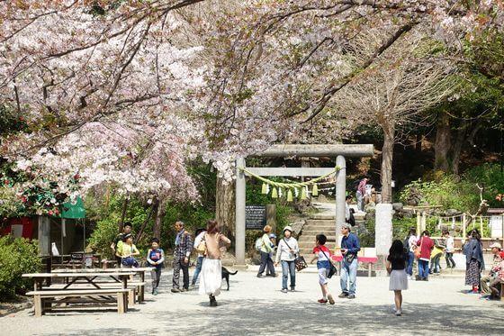 葛原岡神社 桜