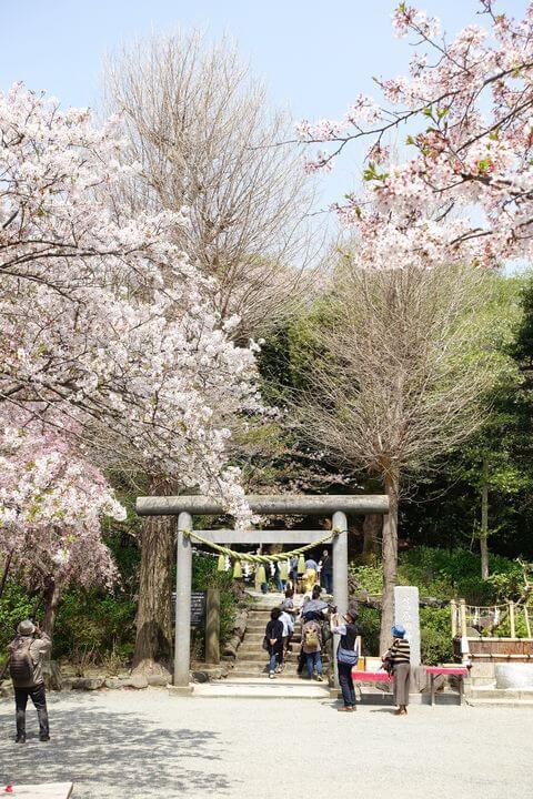 鎌倉 葛原岡神社 桜